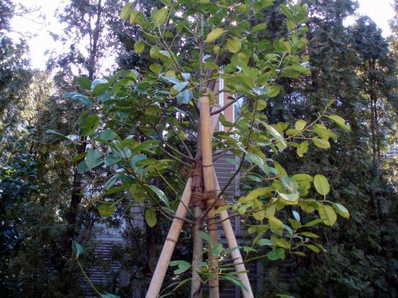 ねむの木の庭記念植樹タラヨウ