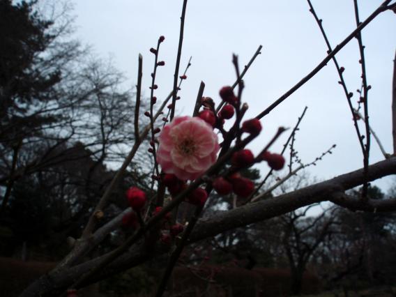 大倉山公園梅林20150217 (24)
