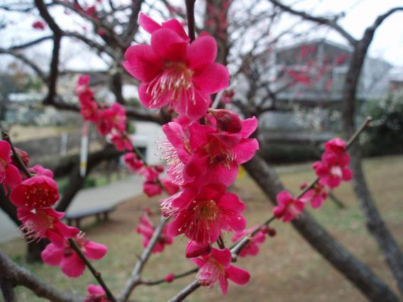 大倉山公園梅林20150303 (9)