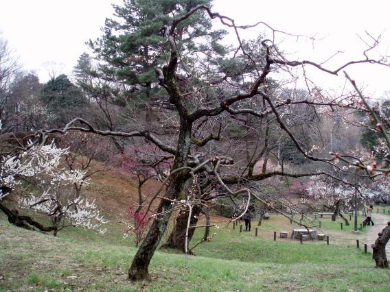 大倉山公園梅林20150303 (11)