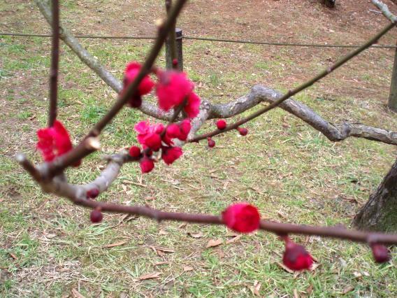 大倉山公園梅林20150303 (17)