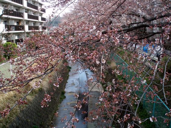 20150329三台橋谷戸川さくら