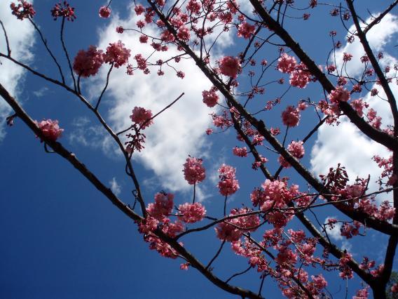 横浜公園桜20150324
