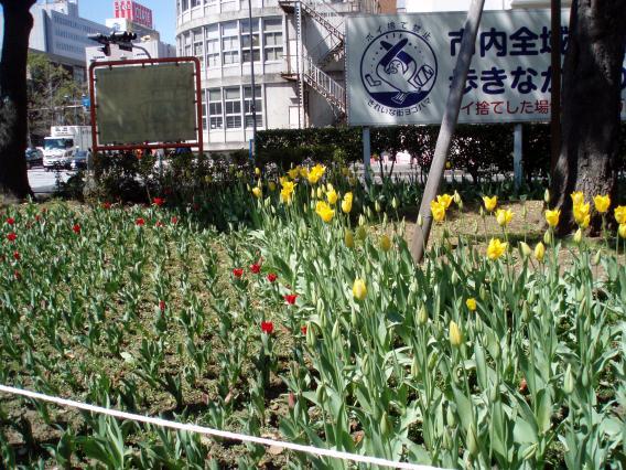 横浜公園20150324出入口近くのチューリップ