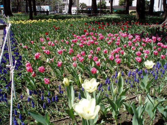 横浜公園チューリップ20150324
