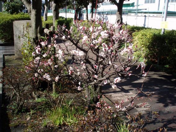 三保町リクシル近くの公園の桜