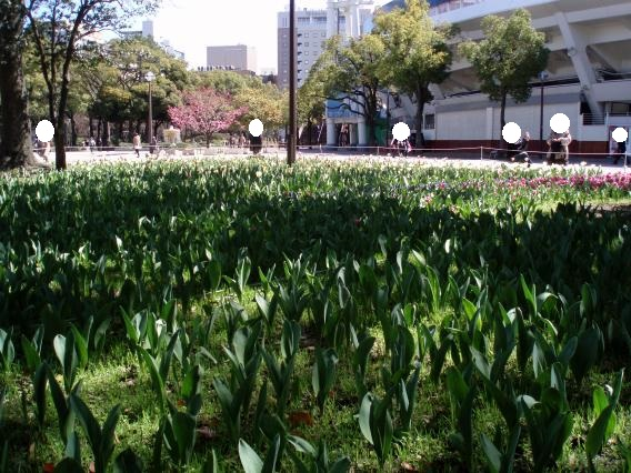 横浜公園チューリップ2015.03.24
