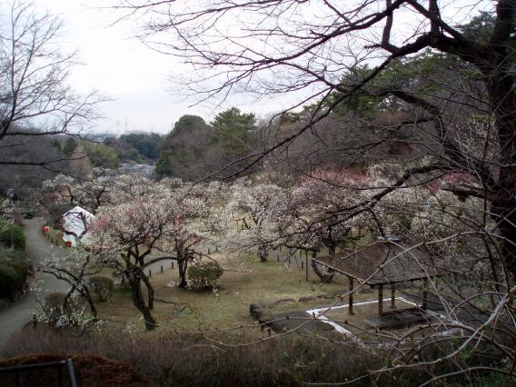大倉山公園梅林20150303 (3)