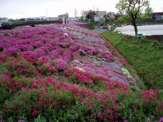 芝桜中山大橋20150421 (8)