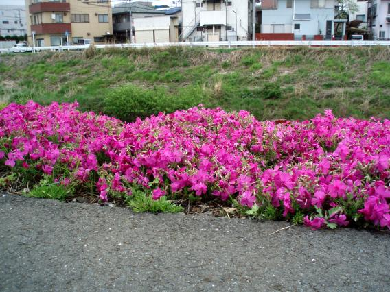 芝桜中山大橋20150421 (6)