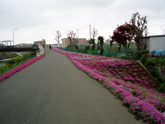 芝桜中山大橋20150421 (7)