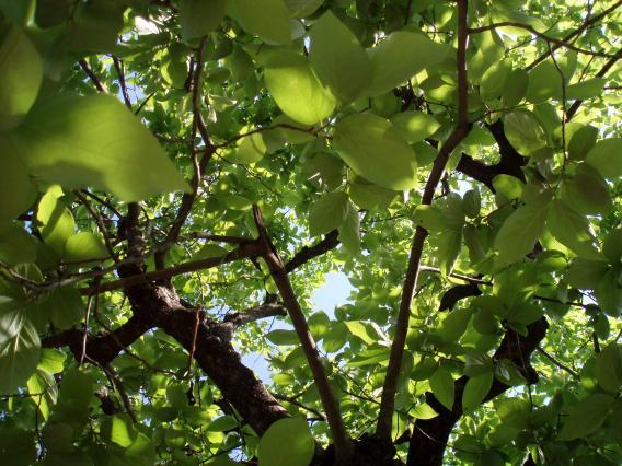 奥津邸柿の木20155月