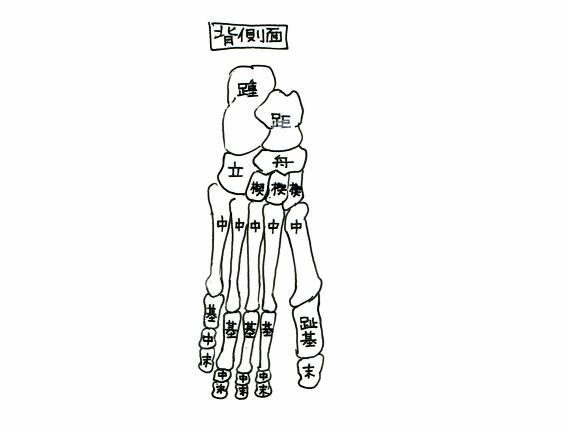 足骨背側面
