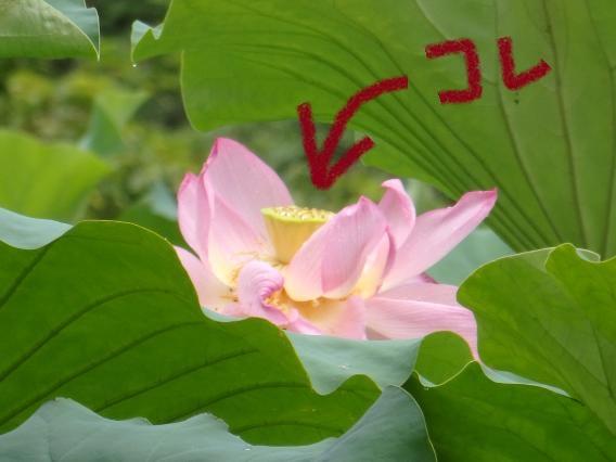 蓮の花の黄色い部分