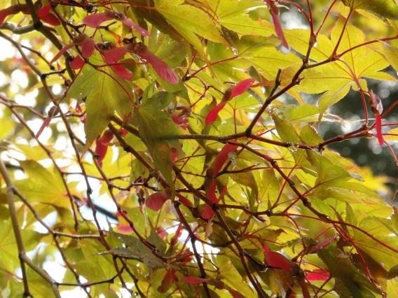 薬師池公園もみじの花の種の羽