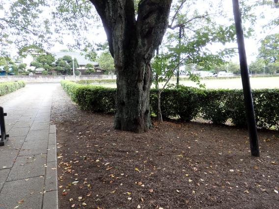 柏市吉田邸の入口の桜