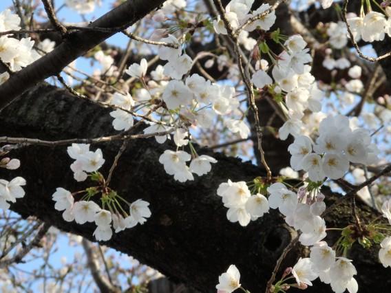 日向山公園桜20190325朝 (4)