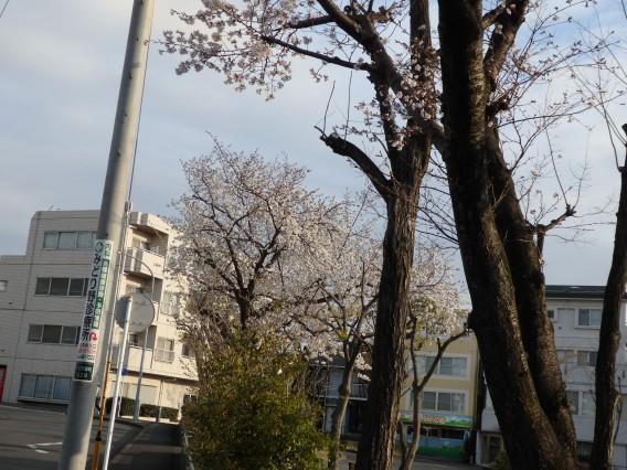 日向山公園桜20190325朝 (6)