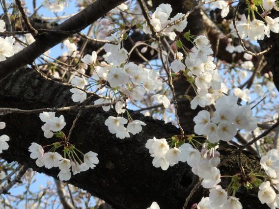日向山公園桜20190325朝 (5)
