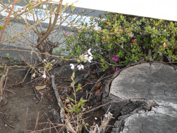 環状4号桜20190325朝の (14)