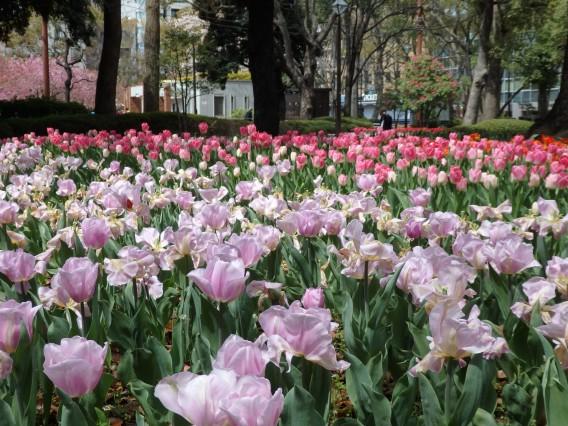 横浜公園チューリップ20190402 (10)