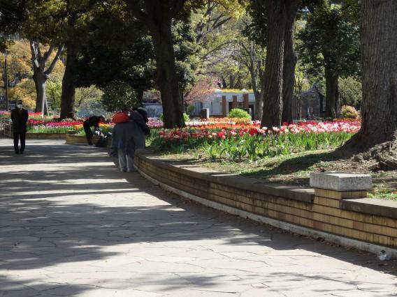 横浜公園チューリップ20190409 (10)