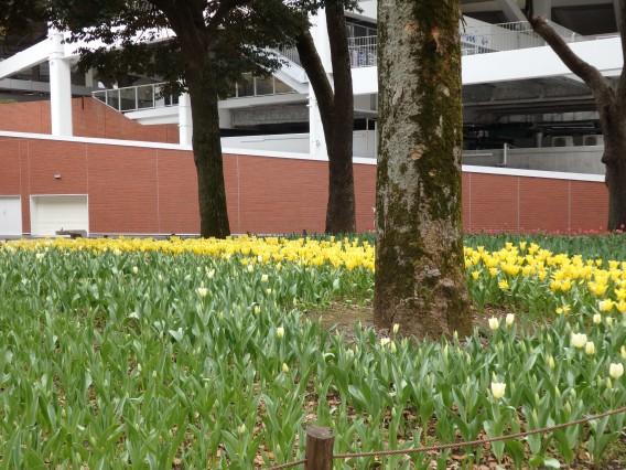 横浜公園チューリップ20190402 (12)