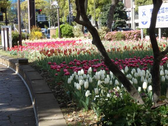横浜公園チューリップ20190409 (23)