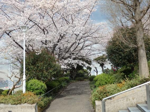 横浜公園チューリップ20190402 (125)