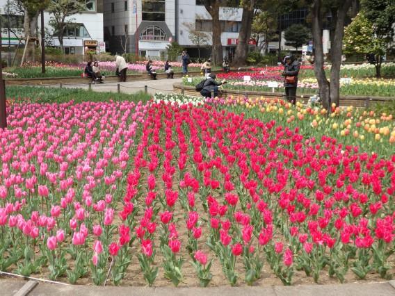 横浜公園チューリップ20190402 (73)