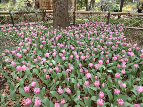 横浜公園チューリップ20190402 (5)