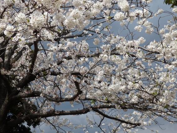 横浜公園チューリップ20190402 (134)