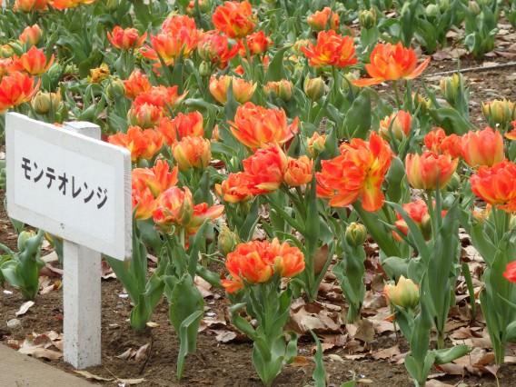 横浜公園チューリップ20190402 (43)