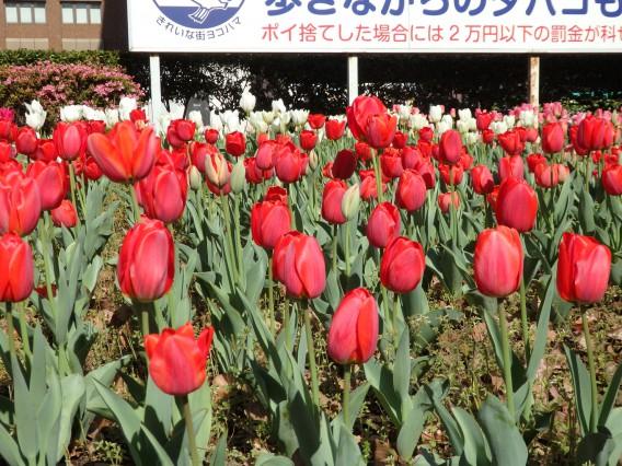 横浜公園チューリップ20190409 (15)