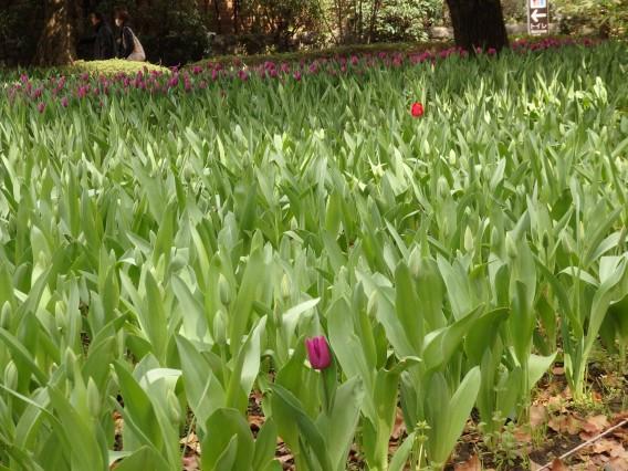 横浜公園チューリップ20190402 (6)