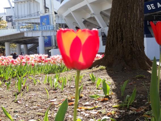 横浜公園チューリップ20190409 (22)