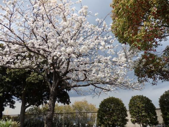 横浜公園チューリップ20190402 (135)