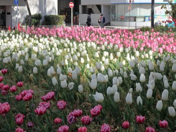 横浜公園チューリップ20190409 (21)