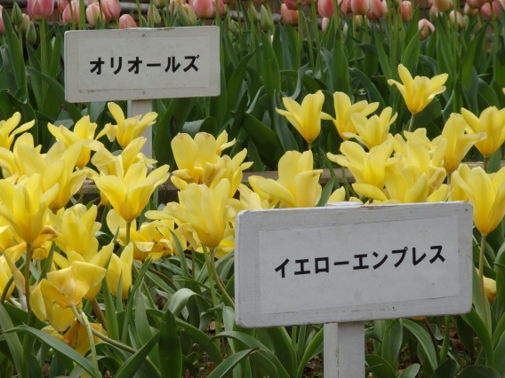 横浜公園チューリップ20190402 (44)
