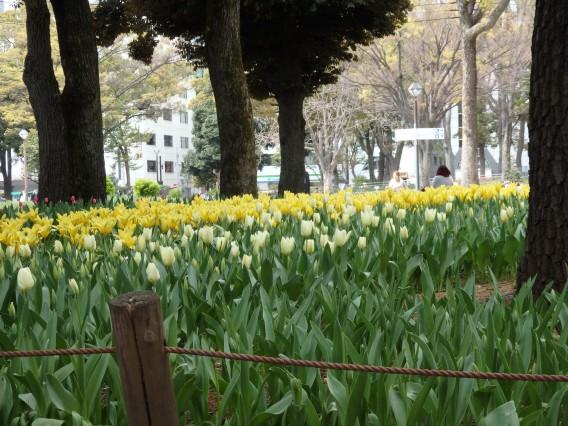 横浜公園チューリップ20190402 (2)