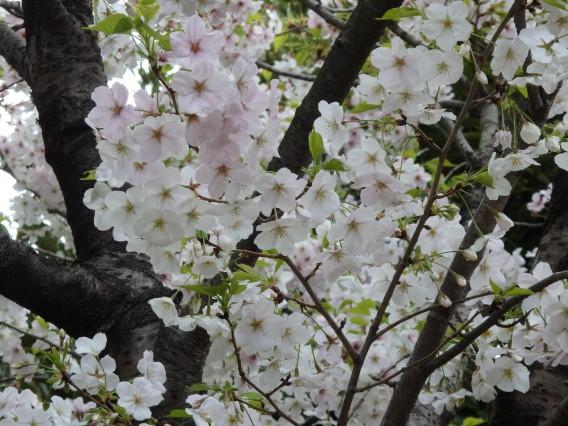 横浜公園チューリップ20190402 (105)