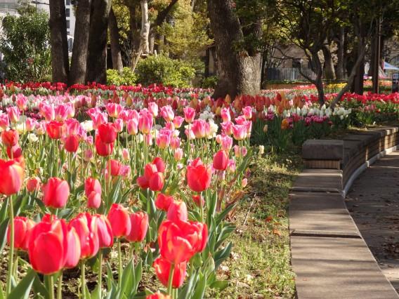 横浜公園チューリップ20190409 (9)