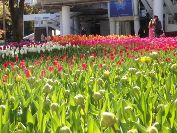 横浜公園チューリップ20190409 (36)