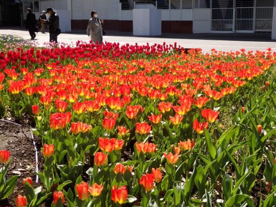 横浜公園チューリップ20190409 (31)