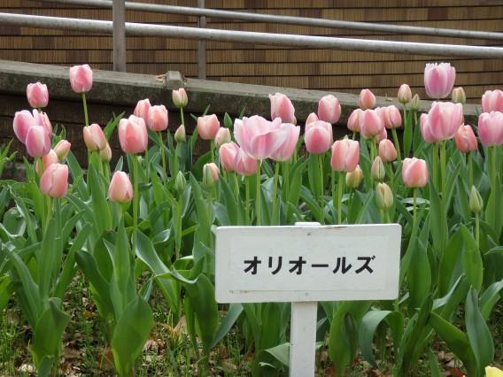 横浜公園チューリップ20190402 (45)