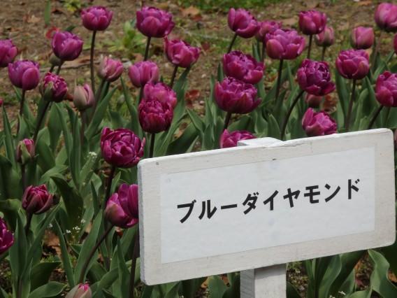 横浜公園チューリップ20190402 (62)